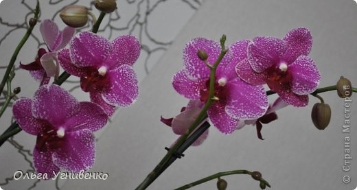 Зацвели и мои красавицы. Хочу порадовать и Вас, дорогой гость, цветением моих орхидей. фото 4