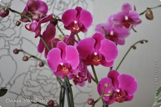 Зацвели и мои красавицы. Хочу порадовать и Вас, дорогой гость, цветением моих орхидей. фото 5