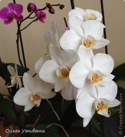 Зацвели и мои красавицы. Хочу порадовать и Вас, дорогой гость, цветением моих орхидей. фото 9
