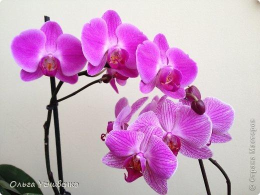 Зацвели и мои красавицы. Хочу порадовать и Вас, дорогой гость, цветением моих орхидей. фото 6