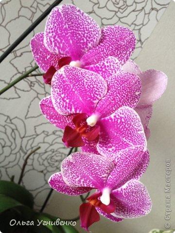 Зацвели и мои красавицы. Хочу порадовать и Вас, дорогой гость, цветением моих орхидей. фото 1