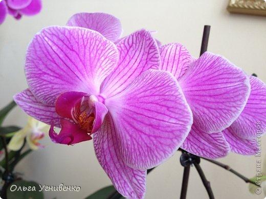 Зацвели и мои красавицы. Хочу порадовать и Вас, дорогой гость, цветением моих орхидей. фото 2
