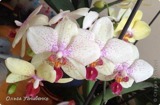Зацвели и мои красавицы. Хочу порадовать и Вас, дорогой гость, цветением моих орхидей. фото 8