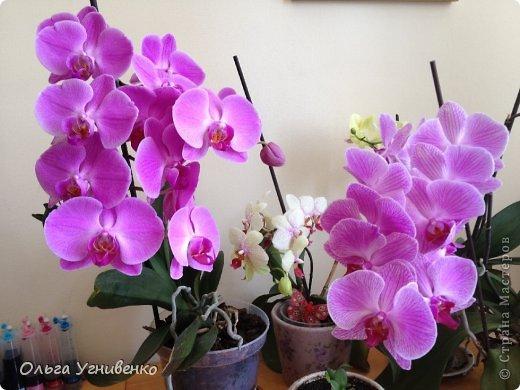 Зацвели и мои красавицы. Хочу порадовать и Вас, дорогой гость, цветением моих орхидей. фото 7