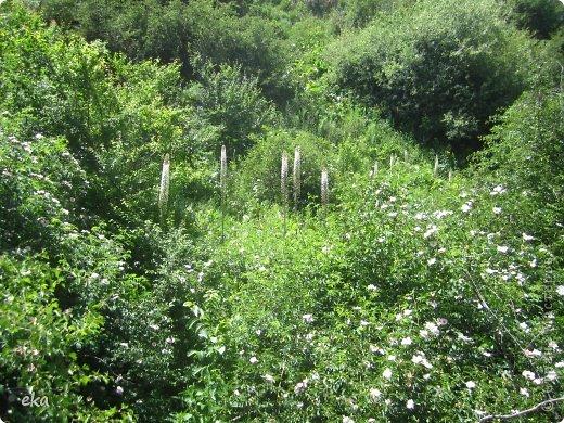 Я прилетела на летние каникулы в Узбекистан. И в начале июня мы пошли в поход в горах недалеко от Кумышкана. Шли и разговаривали, что так хотелось бы увидеть эремурусы, но только они цветут в мае. А из-за учёбы я могу прилетать в Ташкент не раньше 25 мая. Наверное, уже все эремурусы отцвели. фото 7