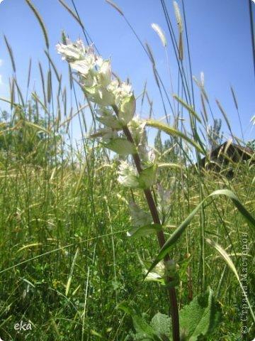 Я прилетела на летние каникулы в Узбекистан. И в начале июня мы пошли в поход в горах недалеко от Кумышкана. Шли и разговаривали, что так хотелось бы увидеть эремурусы, но только они цветут в мае. А из-за учёбы я могу прилетать в Ташкент не раньше 25 мая. Наверное, уже все эремурусы отцвели. фото 18