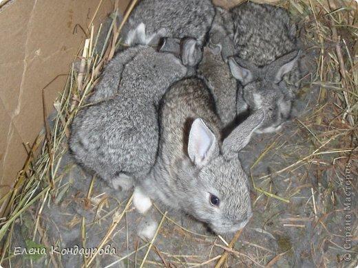......Доброго времени суток,всем, мои дорогие!!!! Я к вам с фотками зверющек!!! Кролики.... Многим эти пушистики в диковинку, а у меня они поселились с осени прощлого года...    Внучатам в Воронеже подарили 2 крольчонка. Все лето дети ухаживали, кормили малышей, кстати очень хорошо,когда у детей есть возможность ухаживать за животными.... Пришла осень, задождило, похолодало и мне предложили забрать их в Эртиль. Зиму перезимовали, выросли, оказались 2 девочки.... Вот теперь ...и  детки у нас!!! фото 3