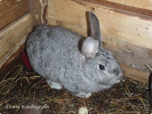 ......Доброго времени суток,всем, мои дорогие!!!! Я к вам с фотками зверющек!!! Кролики.... Многим эти пушистики в диковинку, а у меня они поселились с осени прощлого года...    Внучатам в Воронеже подарили 2 крольчонка. Все лето дети ухаживали, кормили малышей, кстати очень хорошо,когда у детей есть возможность ухаживать за животными.... Пришла осень, задождило, похолодало и мне предложили забрать их в Эртиль. Зиму перезимовали, выросли, оказались 2 девочки.... Вот теперь ...и  детки у нас!!! фото 4
