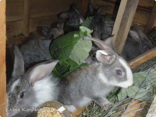 ......Доброго времени суток,всем, мои дорогие!!!! Я к вам с фотками зверющек!!! Кролики.... Многим эти пушистики в диковинку, а у меня они поселились с осени прощлого года...    Внучатам в Воронеже подарили 2 крольчонка. Все лето дети ухаживали, кормили малышей, кстати очень хорошо,когда у детей есть возможность ухаживать за животными.... Пришла осень, задождило, похолодало и мне предложили забрать их в Эртиль. Зиму перезимовали, выросли, оказались 2 девочки.... Вот теперь ...и  детки у нас!!! фото 8