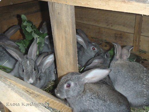 ......Доброго времени суток,всем, мои дорогие!!!! Я к вам с фотками зверющек!!! Кролики.... Многим эти пушистики в диковинку, а у меня они поселились с осени прощлого года...    Внучатам в Воронеже подарили 2 крольчонка. Все лето дети ухаживали, кормили малышей, кстати очень хорошо,когда у детей есть возможность ухаживать за животными.... Пришла осень, задождило, похолодало и мне предложили забрать их в Эртиль. Зиму перезимовали, выросли, оказались 2 девочки.... Вот теперь ...и  детки у нас!!! фото 9