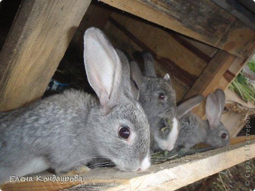 ......Доброго времени суток,всем, мои дорогие!!!! Я к вам с фотками зверющек!!! Кролики.... Многим эти пушистики в диковинку, а у меня они поселились с осени прощлого года...    Внучатам в Воронеже подарили 2 крольчонка. Все лето дети ухаживали, кормили малышей, кстати очень хорошо,когда у детей есть возможность ухаживать за животными.... Пришла осень, задождило, похолодало и мне предложили забрать их в Эртиль. Зиму перезимовали, выросли, оказались 2 девочки.... Вот теперь ...и  детки у нас!!! фото 1