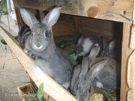 ......Доброго времени суток,всем, мои дорогие!!!! Я к вам с фотками зверющек!!! Кролики.... Многим эти пушистики в диковинку, а у меня они поселились с осени прощлого года...    Внучатам в Воронеже подарили 2 крольчонка. Все лето дети ухаживали, кормили малышей, кстати очень хорошо,когда у детей есть возможность ухаживать за животными.... Пришла осень, задождило, похолодало и мне предложили забрать их в Эртиль. Зиму перезимовали, выросли, оказались 2 девочки.... Вот теперь ...и  детки у нас!!! фото 10