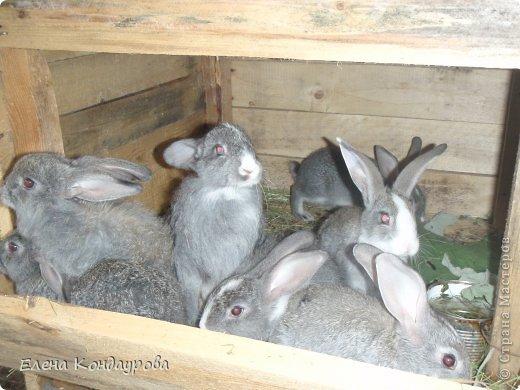 ......Доброго времени суток,всем, мои дорогие!!!! Я к вам с фотками зверющек!!! Кролики.... Многим эти пушистики в диковинку, а у меня они поселились с осени прощлого года...    Внучатам в Воронеже подарили 2 крольчонка. Все лето дети ухаживали, кормили малышей, кстати очень хорошо,когда у детей есть возможность ухаживать за животными.... Пришла осень, задождило, похолодало и мне предложили забрать их в Эртиль. Зиму перезимовали, выросли, оказались 2 девочки.... Вот теперь ...и  детки у нас!!! фото 11