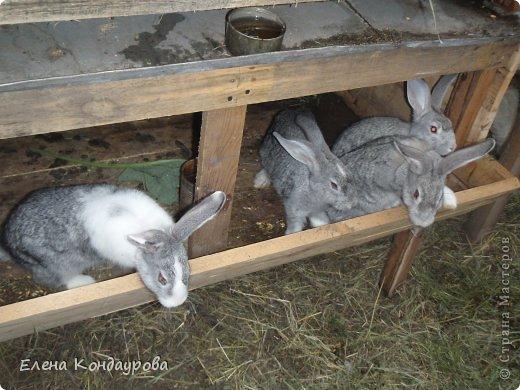 ......Доброго времени суток,всем, мои дорогие!!!! Я к вам с фотками зверющек!!! Кролики.... Многим эти пушистики в диковинку, а у меня они поселились с осени прощлого года...    Внучатам в Воронеже подарили 2 крольчонка. Все лето дети ухаживали, кормили малышей, кстати очень хорошо,когда у детей есть возможность ухаживать за животными.... Пришла осень, задождило, похолодало и мне предложили забрать их в Эртиль. Зиму перезимовали, выросли, оказались 2 девочки.... Вот теперь ...и  детки у нас!!! фото 12