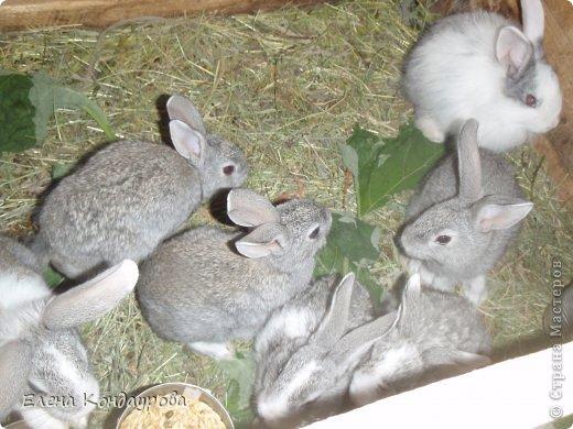 ......Доброго времени суток,всем, мои дорогие!!!! Я к вам с фотками зверющек!!! Кролики.... Многим эти пушистики в диковинку, а у меня они поселились с осени прощлого года...    Внучатам в Воронеже подарили 2 крольчонка. Все лето дети ухаживали, кормили малышей, кстати очень хорошо,когда у детей есть возможность ухаживать за животными.... Пришла осень, задождило, похолодало и мне предложили забрать их в Эртиль. Зиму перезимовали, выросли, оказались 2 девочки.... Вот теперь ...и  детки у нас!!! фото 14