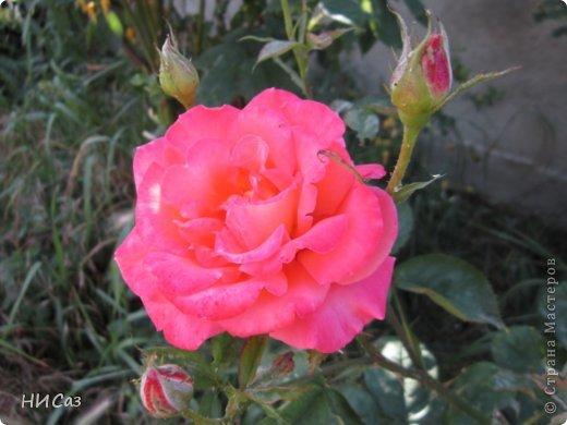 Розовое наслаждение фото 5