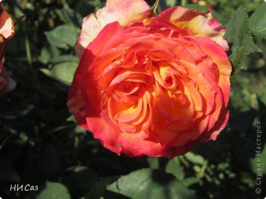 Розовое наслаждение фото 12