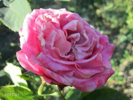 Розовое наслаждение фото 13