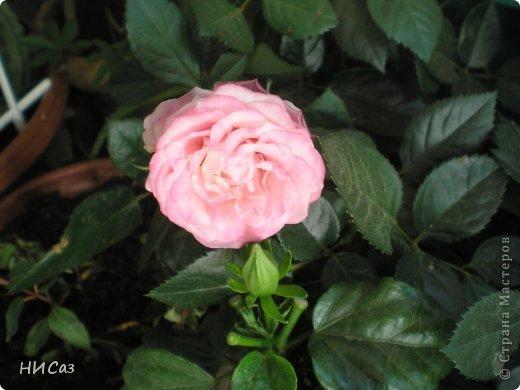 Розовое наслаждение фото 15