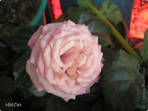 Розовое наслаждение фото 16