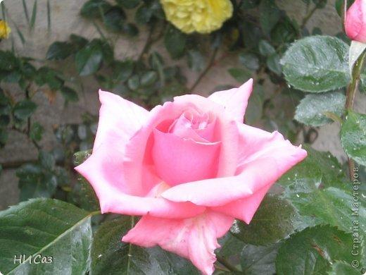 Розовое наслаждение фото 19