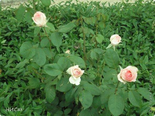 Розовое наслаждение фото 34