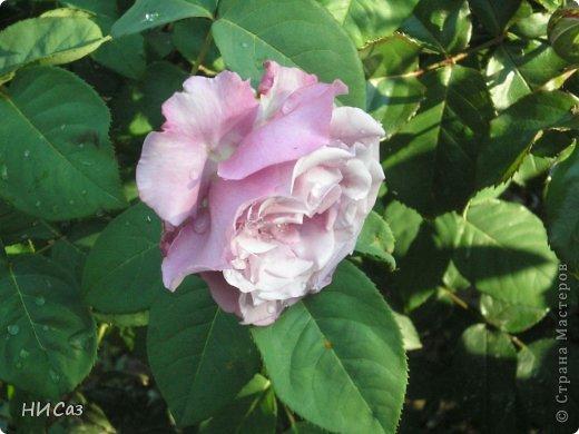 Розовое наслаждение фото 25
