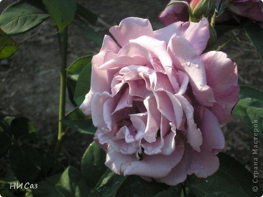 Розовое наслаждение фото 21