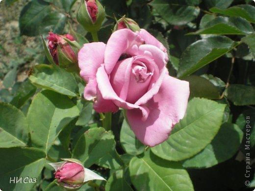Розовое наслаждение фото 24