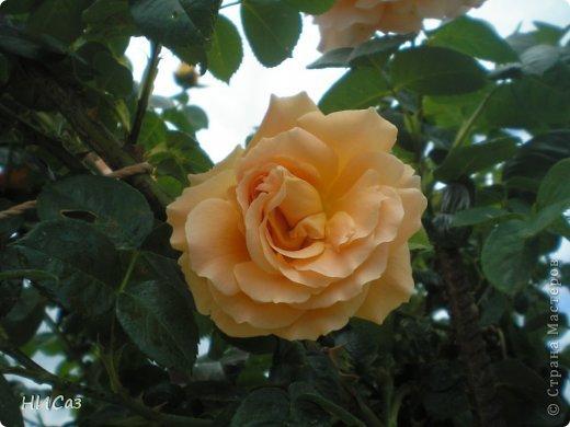 Розовое наслаждение фото 22