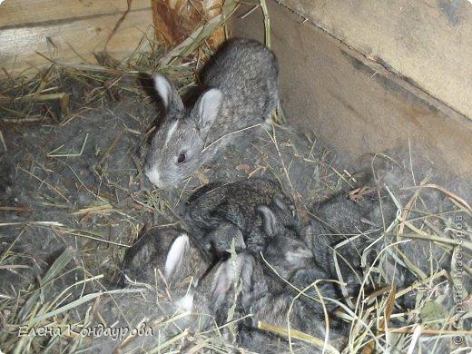 ......Доброго времени суток,всем, мои дорогие!!!! Я к вам с фотками зверющек!!! Кролики.... Многим эти пушистики в диковинку, а у меня они поселились с осени прощлого года...    Внучатам в Воронеже подарили 2 крольчонка. Все лето дети ухаживали, кормили малышей, кстати очень хорошо,когда у детей есть возможность ухаживать за животными.... Пришла осень, задождило, похолодало и мне предложили забрать их в Эртиль. Зиму перезимовали, выросли, оказались 2 девочки.... Вот теперь ...и  детки у нас!!! фото 15