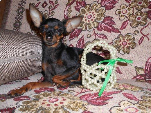 Вот и поспела земляника, а моя собачка Жужа собралась собирать ягоды! фото 1
