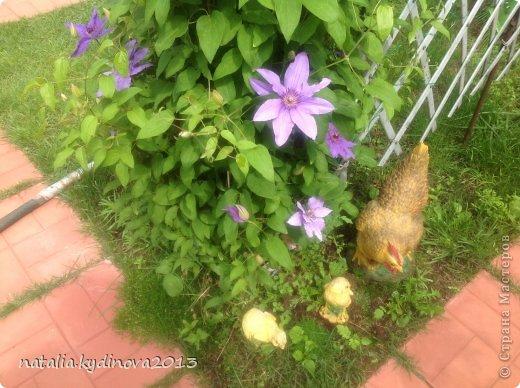 Добрый день соседи по стране! Вот ждали , ждали лето, а уже и тюльпаны отцвели, и ирисы, и пионы, для меня уже лето в середине , так как следующее ожидание периода лета - это когда  зацветут флоксы, а пока предлагаю полюбоваться , что еще цветет...  А это клематисы , ох они мне и достались, сколько я за 20 лет их не сажала, но вот эти выжили...  фото 4