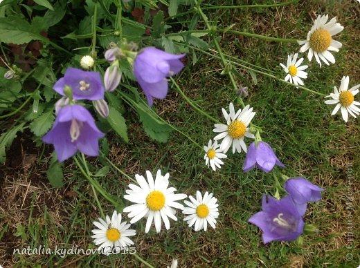 Добрый день соседи по стране! Вот ждали , ждали лето, а уже и тюльпаны отцвели, и ирисы, и пионы, для меня уже лето в середине , так как следующее ожидание периода лета - это когда  зацветут флоксы, а пока предлагаю полюбоваться , что еще цветет...  А это клематисы , ох они мне и достались, сколько я за 20 лет их не сажала, но вот эти выжили...  фото 37