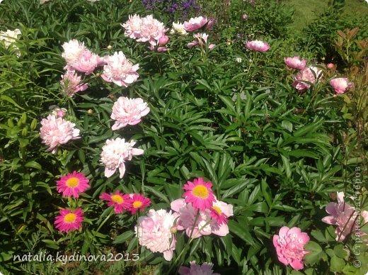 Добрый день соседи по стране! Вот ждали , ждали лето, а уже и тюльпаны отцвели, и ирисы, и пионы, для меня уже лето в середине , так как следующее ожидание периода лета - это когда  зацветут флоксы, а пока предлагаю полюбоваться , что еще цветет...  А это клематисы , ох они мне и достались, сколько я за 20 лет их не сажала, но вот эти выжили...  фото 40
