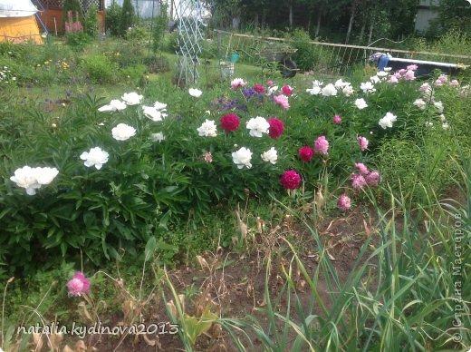 Добрый день соседи по стране! Вот ждали , ждали лето, а уже и тюльпаны отцвели, и ирисы, и пионы, для меня уже лето в середине , так как следующее ожидание периода лета - это когда  зацветут флоксы, а пока предлагаю полюбоваться , что еще цветет...  А это клематисы , ох они мне и достались, сколько я за 20 лет их не сажала, но вот эти выжили...  фото 41