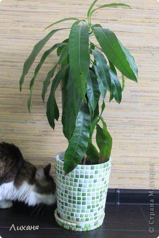 т.к. манго растение для наших квартир не обычное - значит и кашпо захотелось не обычное ))) и вот он - результат!!!! фото 3