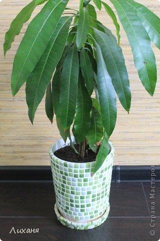 т.к. манго растение для наших квартир не обычное - значит и кашпо захотелось не обычное ))) и вот он - результат!!!! фото 1