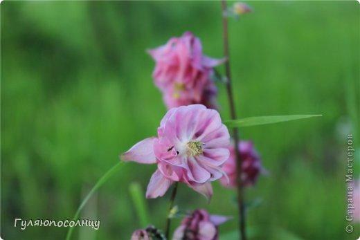 Хочу поделиться с Вами красотой! Скромные цветочки аквилегии или водосбор. Сказать-Красиво- не сказать ничего...Завораживают. фото 5