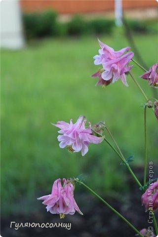 Хочу поделиться с Вами красотой! Скромные цветочки аквилегии или водосбор. Сказать-Красиво- не сказать ничего...Завораживают. фото 7