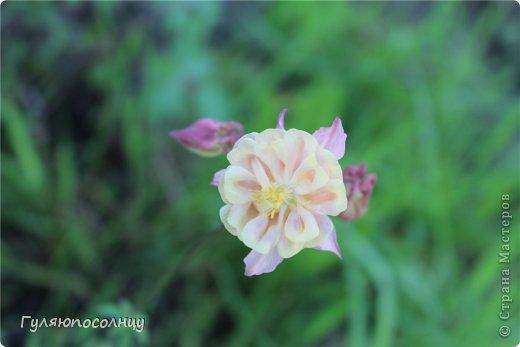 Хочу поделиться с Вами красотой! Скромные цветочки аквилегии или водосбор. Сказать-Красиво- не сказать ничего...Завораживают. фото 2