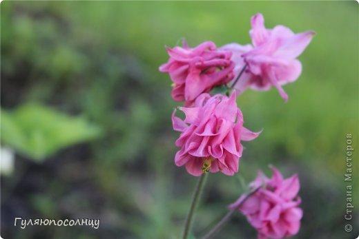 Хочу поделиться с Вами красотой! Скромные цветочки аквилегии или водосбор. Сказать-Красиво- не сказать ничего...Завораживают. фото 3