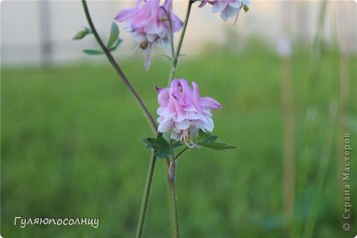 Хочу поделиться с Вами красотой! Скромные цветочки аквилегии или водосбор. Сказать-Красиво- не сказать ничего...Завораживают. фото 6