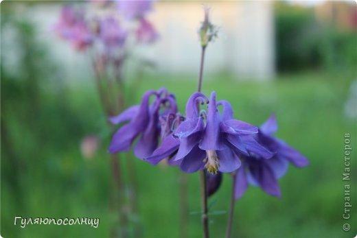 Хочу поделиться с Вами красотой! Скромные цветочки аквилегии или водосбор. Сказать-Красиво- не сказать ничего...Завораживают. фото 4