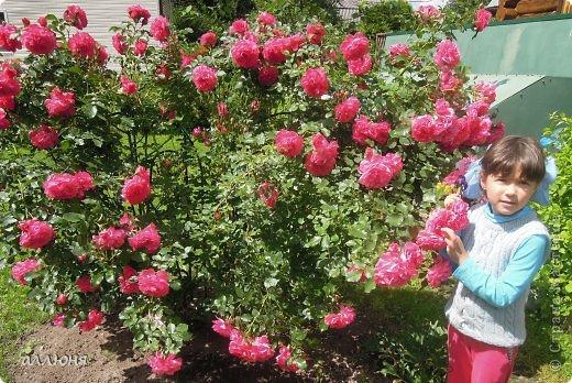 Здравствуйте! Вот такая роза расцвела у нас на даче. Дочка обожает цветы, а вот наводить порядок, как многие детки, не особенно любит. Вот я и решила, используя цветочную тему, приучать дочку к порядку. К тому же вещами, сделанным своими руками, гораздо интереснее пользоваться.  фото 1