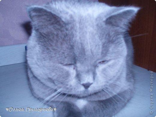 здравствуйте, я хочу вам показать моего толстого бегемота которому постоянно хочется есть и спать. Британцу 3 года но при этом он весит 15 килограм (я в ПОЛНОМ ШОКЕ)  фото 1
