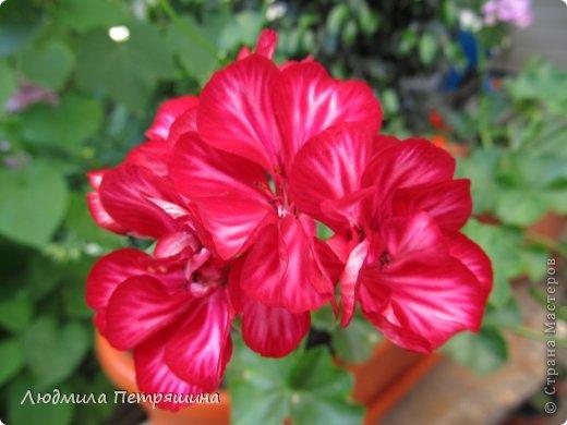 Мои любимые пеларгонии, они сейчас цветут, хочу с вами поделиться красотой! Этот цветок алого цвета. фото 10