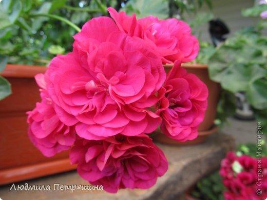 Мои любимые пеларгонии, они сейчас цветут, хочу с вами поделиться красотой! Этот цветок алого цвета. фото 11