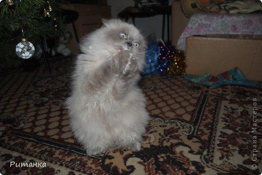 Привет....Я................Мурррррзик.......слишком активный.........люблю шарить по кулькам...... фото 9