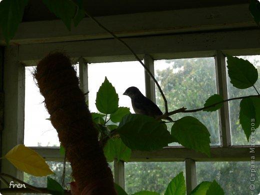 Добрый день дорогие мастера и мастерицы! Хочу рассказать маленькую историю, которая произошла со мной в июне. Я очень люблю проводить лето на даче, сажаю цветы, ухаживаю за садом. Покормиться в сад прилетает много птиц: воробьи, синицы, чижи, дубоносы, скворцы и дрозды. Каждое утро насыпаю им в кормушки угощения. И в одно такое утро я обнаружила на земле в траве около дома маленького птенчика-воробушка. Был сильный ветер и его видимо сдуло вместе с гнездом из под крыши дома. Сначала посадила его на ветку и решила дождаться родителей, но в течение часа никто не прилетел. Вот и взяла его себе на воспитание. :) Принесла домой и устроила гнездо в коробке. фото 7